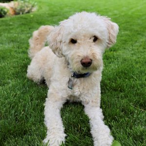 Dog-friendly lawn care in Bothell, WA